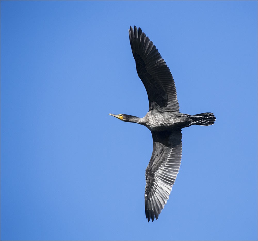 Kormoran, Phalacrocorax carbo, Cormorant