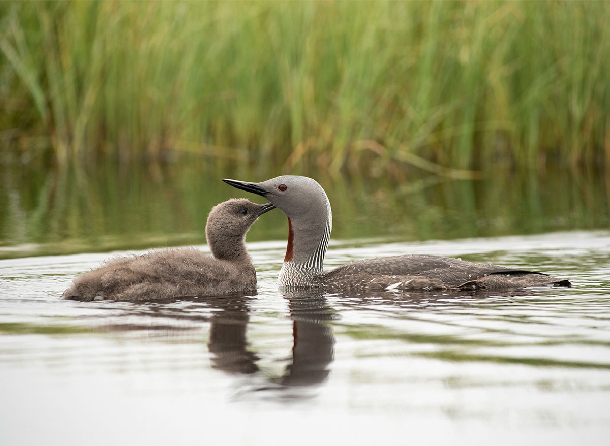 Punakurk-kaur, Gavia stellata, Red-throated Diver