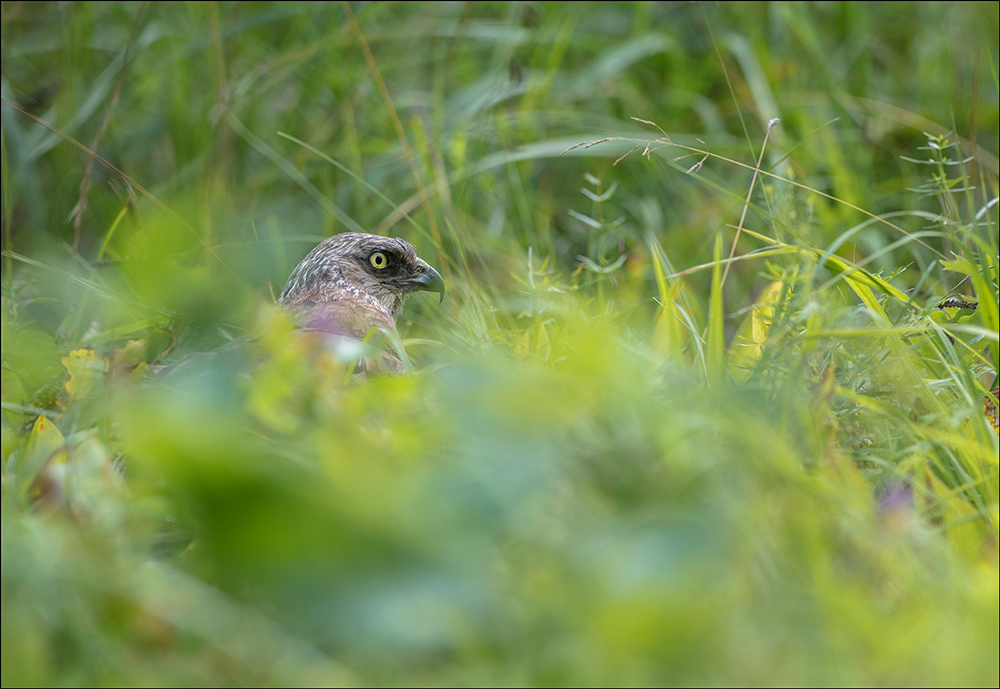 Roo-loorkull, Circus aeruginosus, Marsh Harrier