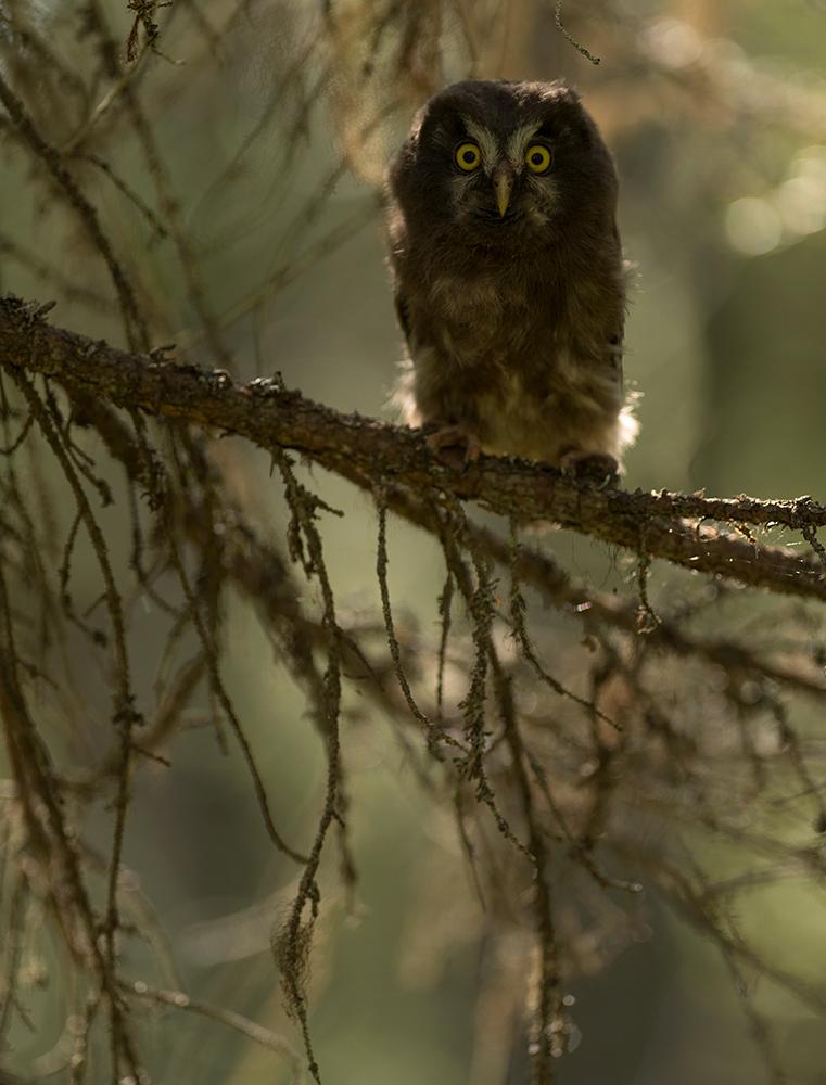 Karvasjalg-kakk, Aegolius funereus, Boreal owl