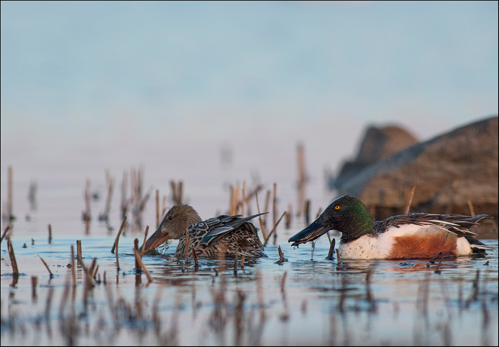 Luitsnokk-part, Anas clypeata, Northern shoveler