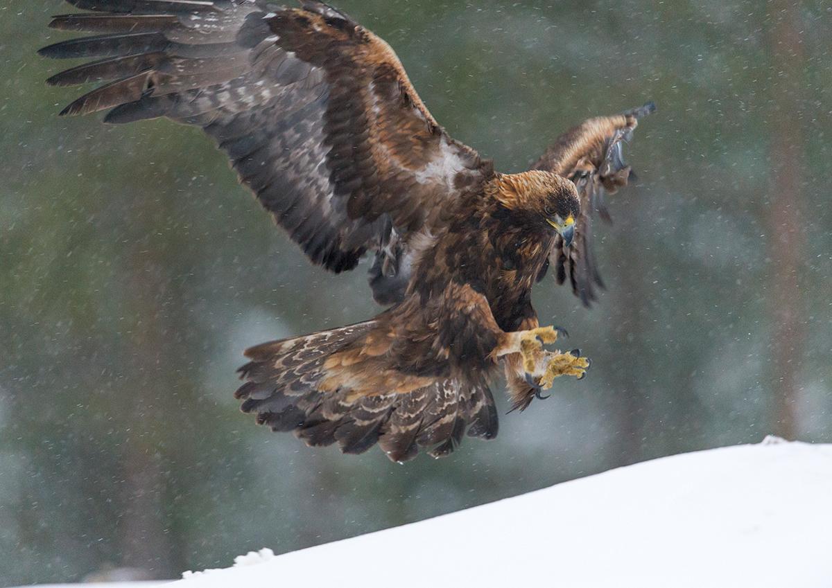 Kaljukotkas e maakotkas, Aquila chrysaetos, Golden Eagle