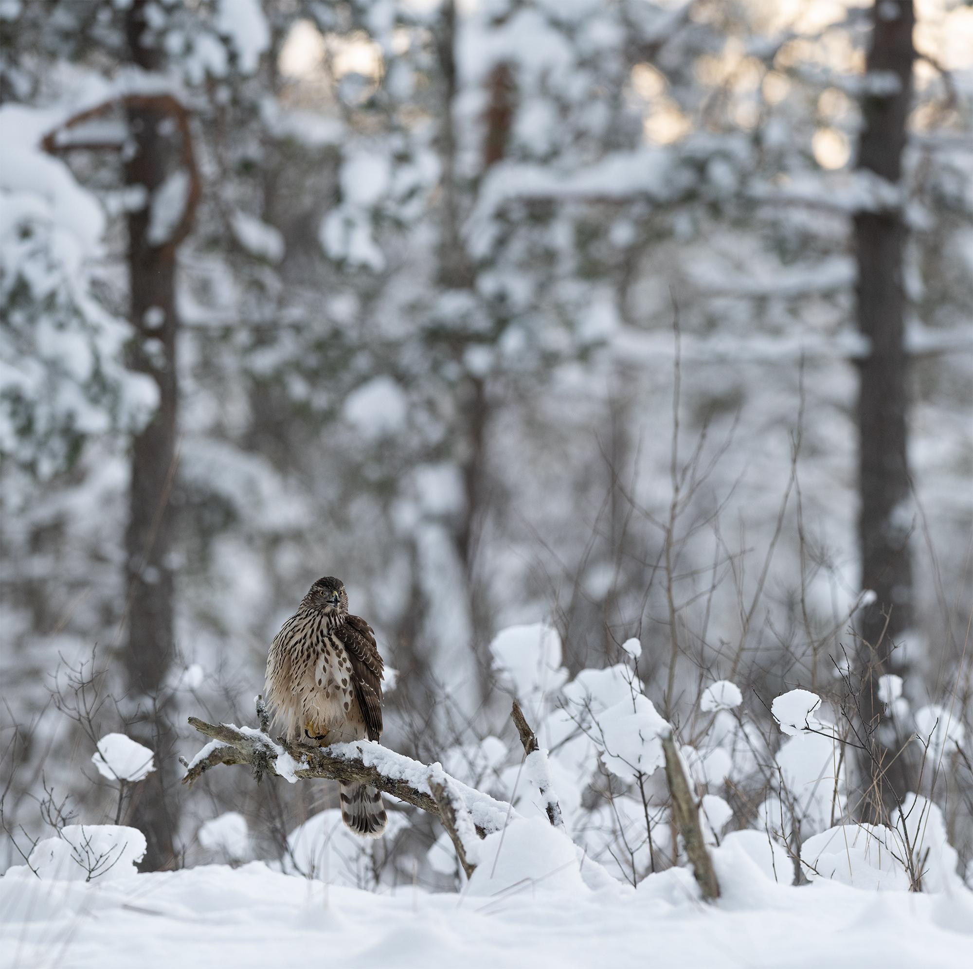 Kanakull talvises metsas