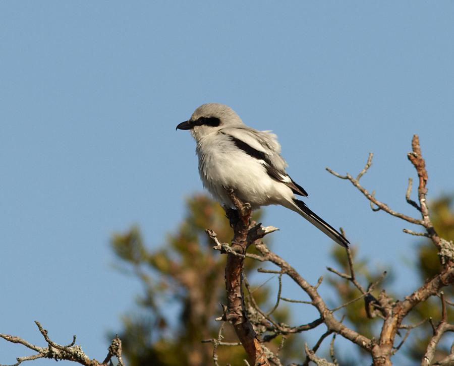 Hallõgija, Lanius excubitor, Great Grey Shrike