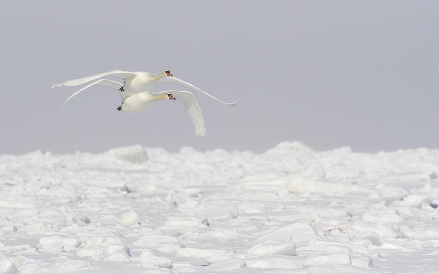 Kühmnokk luik, Cygnus olor, Mute Swan