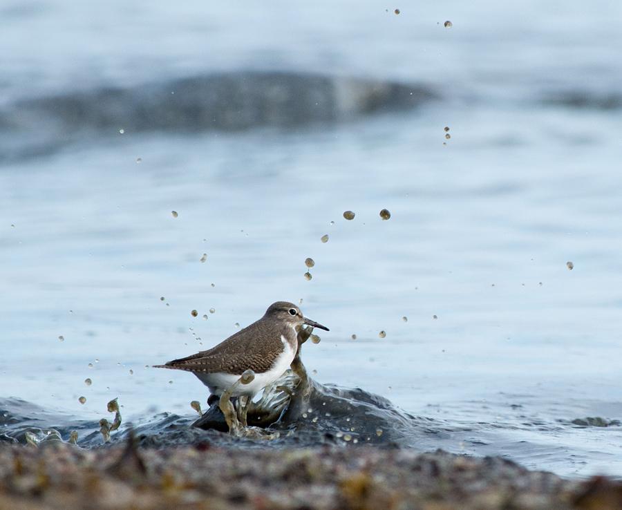 Jõgitilder, Actitis hypoleucos, Common Sandpiper