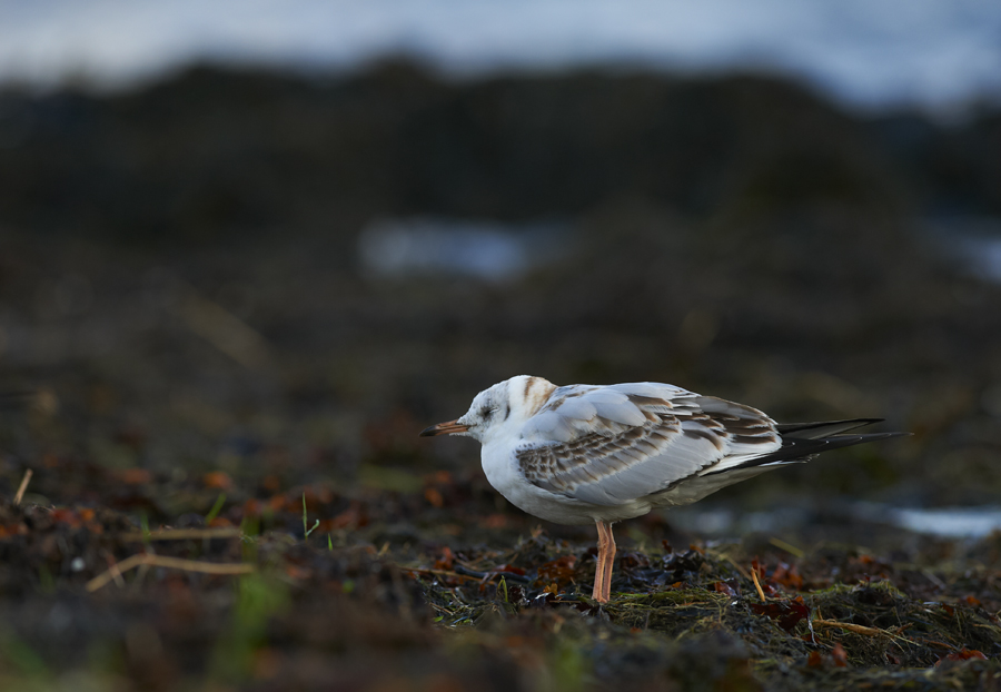 Naerukajakas, Larus ridibundus, Black-headed Gull