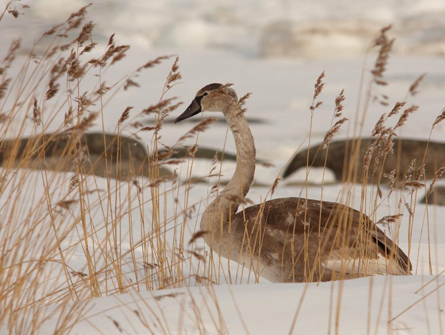Noor kühmnokk-luik, Cygnus olor, Mute Swan