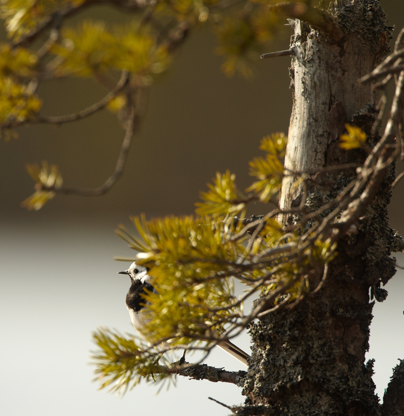 Linavästrik, Motacilla alba, Pied Wagtail