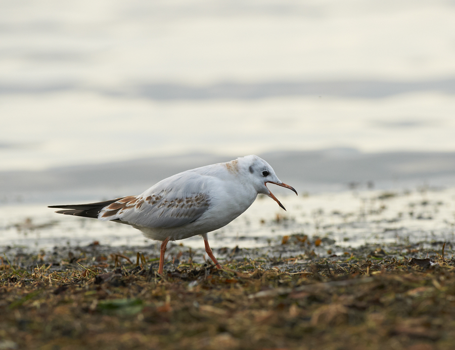 Naerukajakas, Larus ridibundus, Black-headed Gull
