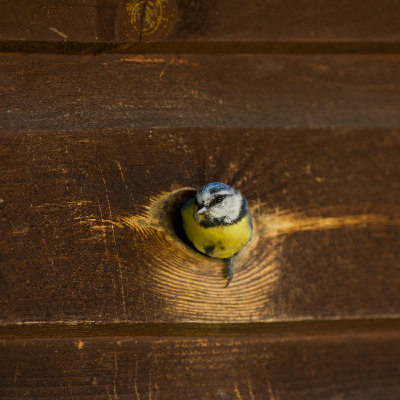 Sinitihane, Parus caeruleus, Blue Tit