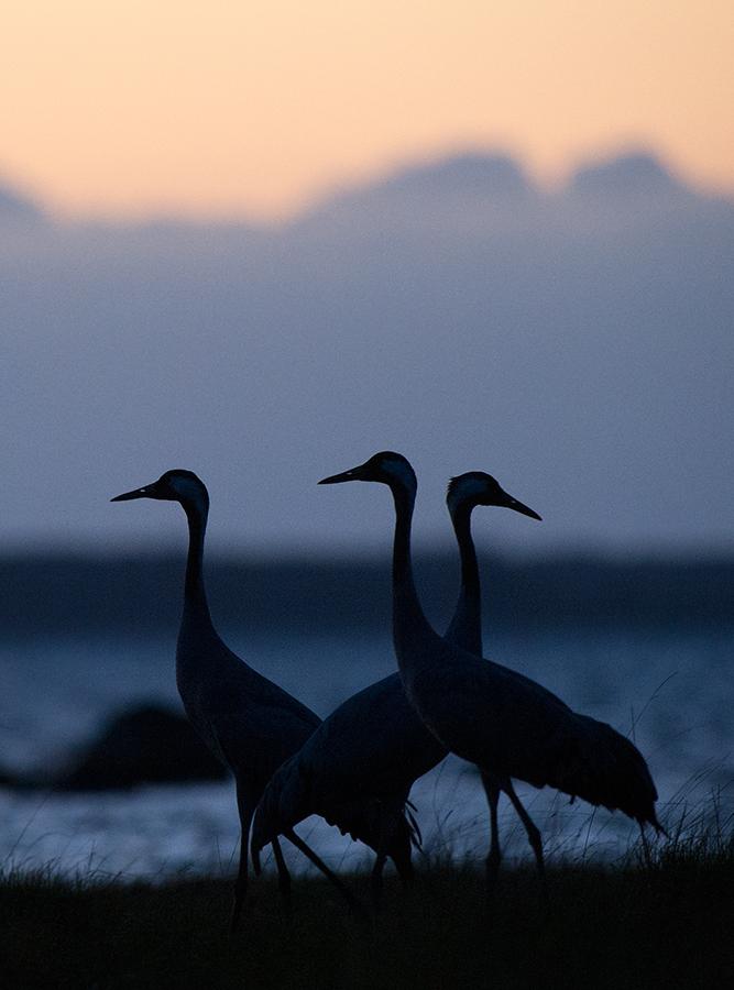 Sookurg, Grus grus, Crane