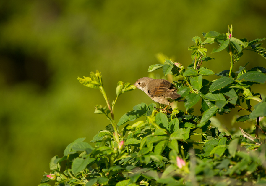 Pruunselg-põõsalind, Sylvia communis, Whitethroat