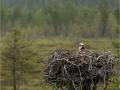 Kalakotkas, Pandion haliaetus, Osprey
