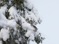 Vöötkakk, Surnia ulula, Hawk Owl