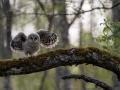 Händkakk, Strix uralensis, Ural Owl