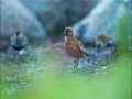 Kõvernokk-rüdi, Calidris ferruginea, Curlew Sandpiper