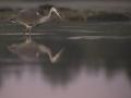 Hallhaigur, Ardea cinerea, Grey Heron