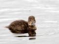 Tuttvart, Aythya fuligula, Tufted Duck