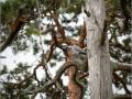 Kaelustuvi, Columba palumbus, Woodpigeon