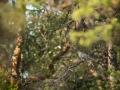 Kägu, Cuculus canorus, Cuckoo