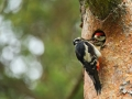 Suur-kirjurähn, Dendrocopos major, Great Spotted Woodpecker