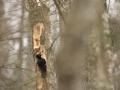 Musträhn, Dryocopus martius, Black Woodpecker