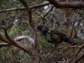 Metsis, Mõtus, Capercaillie, Tetrao urogallus