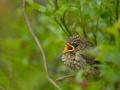 Must-kärbsenäpp, Ficedula hypoleuca, Pied Flycatcher