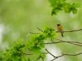 Lepalind, Phoenicurus phoenicurus, Redstart