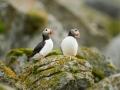 Lunn, Fratercula arctica,  Puffin Norra 2013