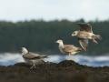 Hõbekajakas, Larus, argentatus, Herring Gull
