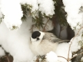 Põhjatihane, Parus montanus, Willow Tit