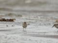 Tundrarüdi, Calidris alpina alpina, Dunlin