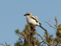 Hallõgija, Lanius excubitor, Great Grey Shrike