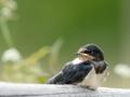 Suitsupääsuke, Hirundo rustica, Barn Swallow