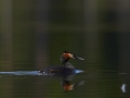 Tuttpütt, Podiceps cristatus, Great Crested Grebe