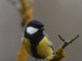 Rasvatihane, Parus major, Great Tit