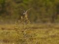 Mudatilder, Tringa glareola, Wood Sandpiper