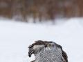 Kanakull, Accipiter gentilis, Goshawk