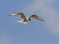Randtiir, Sterna paradisaea, Arctic Tern