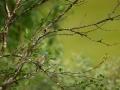 Hänilane, Motacilla flava, Yellow Wagtail