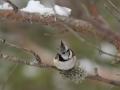 Tutt-tihane, Parus cristatus, Crested Tit