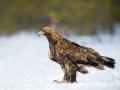 Tartumaa, Ilmatsalu  Kaljukotkas ehk maakotkas, Aquila chrysaetos,  Golden Eagle