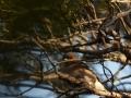 Metsvint, Fringilla coelebs, Chaffinch