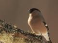 Leevike, Pyrrhula pyrrhula, Bullfinch