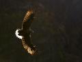 Merikotkas, Haliaeetus albicilla, White-tailed Eagle Norra 2012