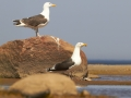 Merikajakas, Larus marinus, Great Black-backed Gull