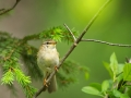 Salu-lehelind, Phylloscopus trochilus, Willow Warbler