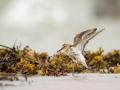 Soorüdi, Calidris alpina, Dunlin